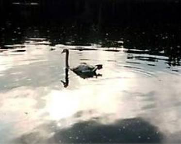 Фото: лебедь на Патриарших прудах