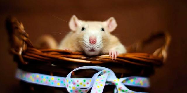 К чему снятся крысы?