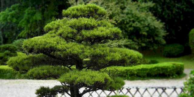 Хвойные домашние деревья - магические свойства