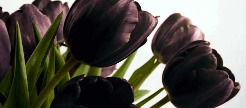 Тюльпан - применение цветов в магии