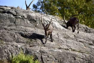 Фото: козлы в поисках минералов, интересные факты