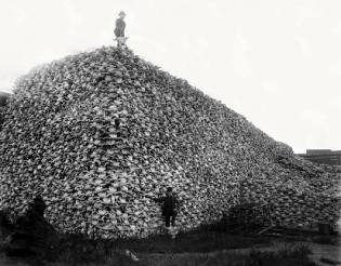 Фото: истребление бизонов США — интересные факты