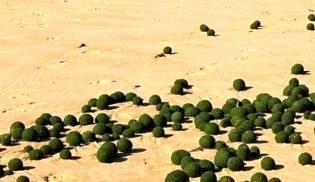 Фото: зелёные шары на побережье, интересные факты