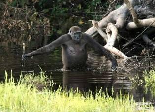 Фото: водяная обезьяна — интересные факты
