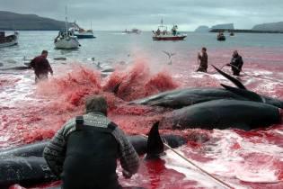 Фото: китобойный промысел на Фарерских островах