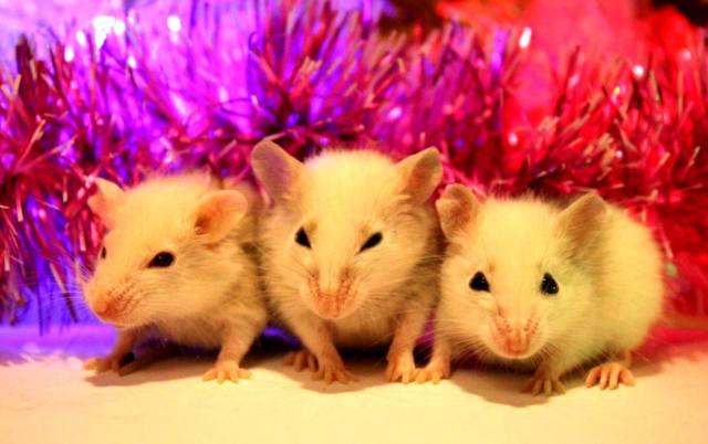Астропрогноз на Новый 2020 год Крысы