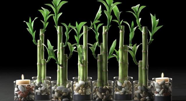 Бамбук — как ухаживать в домашних условиях?
