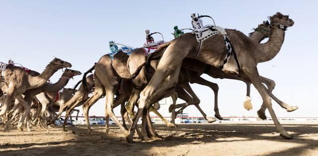 Гонки верблюдов в ОАЭ и поло на слонах